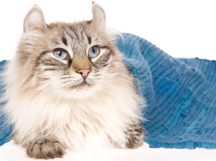 Die American Curl ist eine verspielte, fröhliche Katze – Bild: Shutterstock / Linn Currie