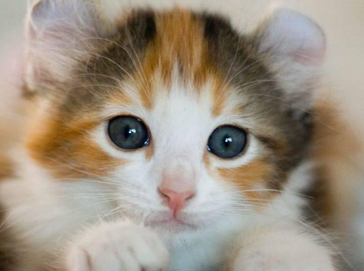 American Curl Katzen bezaubern nicht nur durch ihr besonderes Aussehen – Bild: Shutterstock / Vasiliy Khimenko