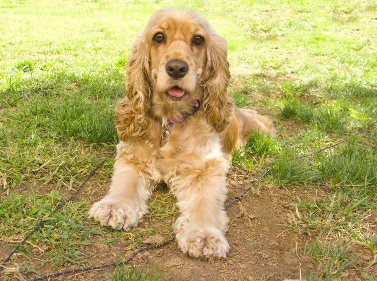Der Cocker Spaniel ist ein munterer, selbstbewusster Hund – Bild: Shutterstock / Ingrid Prats