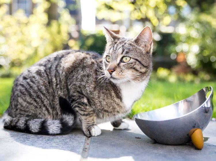 Eine fremde Katze im Garten zu füttern ist nicht immer im Interesse des Besitzers – Bild: Shutterstock / Charlie Bard