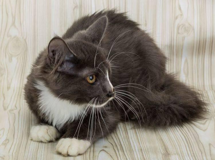 Niereninsuffizienz kommt häufig bei älteren Katzen vor – Bild: Shutterstock / Andrey Starostin
