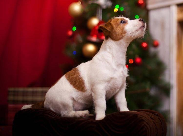 Adventskalender für Hunde – Bild: Shutterstock / dezi
