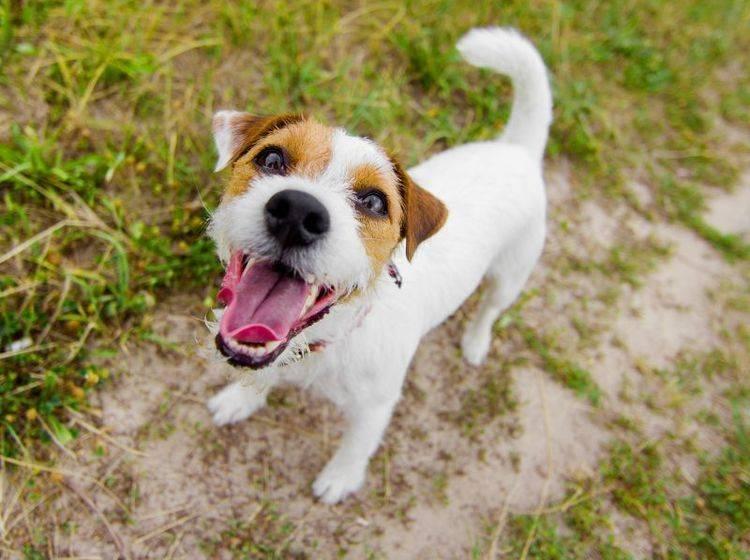 Ein Energiebündel: Der Jack Russell Terrier – Bild: Shutterstock / vit plus