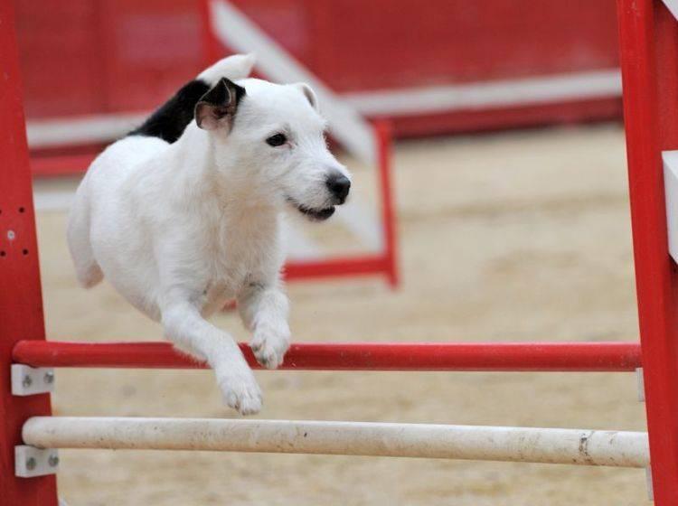 Wichtig für die Haltung: Jack Russell Terrier brauchen viel Beschäftigung – Bild: Shutterstock / cynoclub