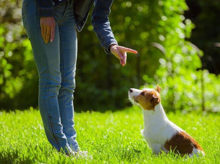 Die Erziehung eines Jack Russell Terriers erfordert Geduld und Konsequenz – Bild: Shutterstock / dezi