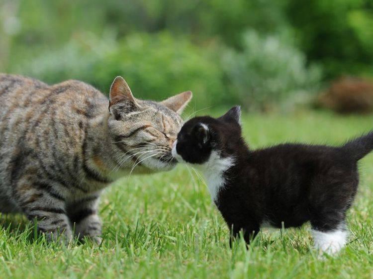 Der Welpenschutz für Katzenbabys gilt nur in den ersten Wochen – Bild: Shutterstock / Schubbel