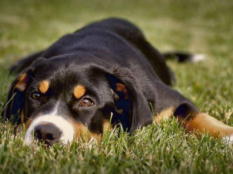 Das Cushing-Syndrom tritt häufig bei älteren Hunden auf – Bild: Shutterstock / Zuzana Uhlíková