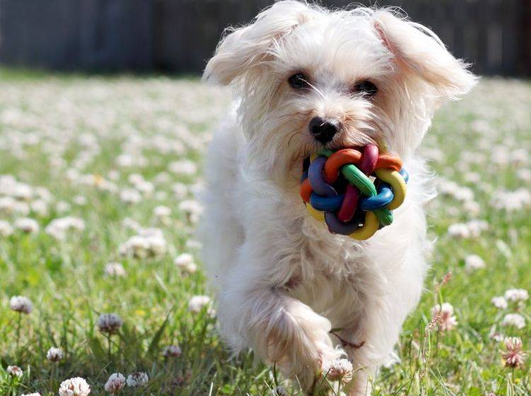 Der Malteser lernt gern spielerisch – Bild: Shutterstock / Joyce Marrero1