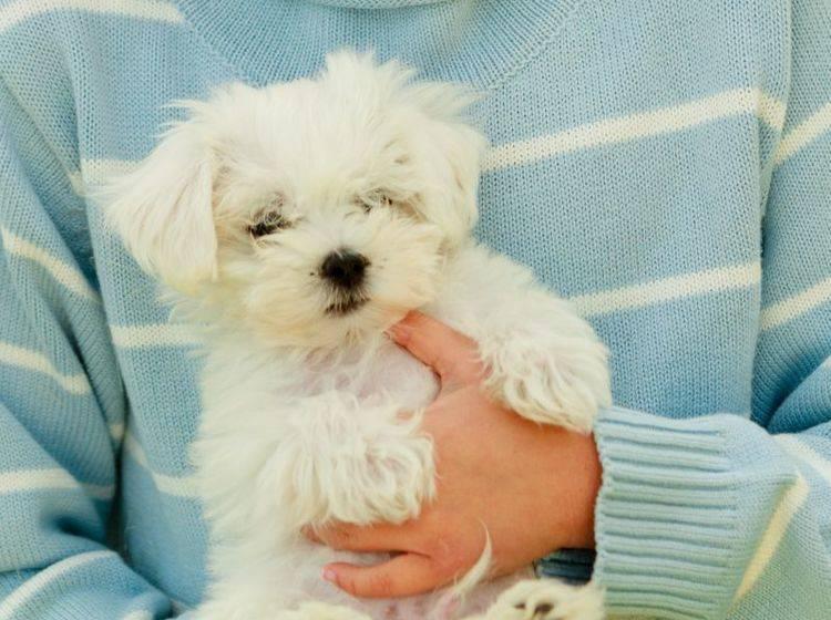 Der Malteser ist ein niedlicher und unkomplizierter Hund – Bild: Shutterstock / gorillaimages