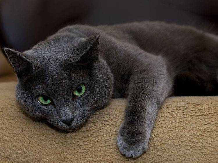 Katzen mit Niereninsuffizienz wirken matt und abgeschlagen – Bild: Shutterstock / Renata Apanaviciene