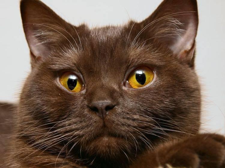 Braunes Fell und bernsteinfarbene Augen: Eine besonders schöne Kombination, oder? – Bild: Shutterstock / Pashin Georgiy