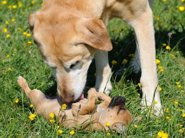 Welpe trifft erwachsenen Hund: Gilt der Welpenschutz? – Bild: Shutterstock / AnetaPics