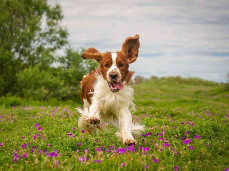 Der Welsh Springer Spaniel ist ein ausgelassener, fröhlicher Hund – Bild: Shutterstock / rebeccaashworth