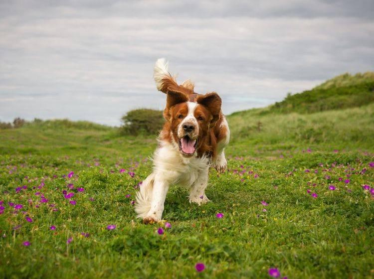 Der Welsh Springer Spaniel ist ein kleiner Wirbelwind – Bild: Shutterstock / rebeccaashworth