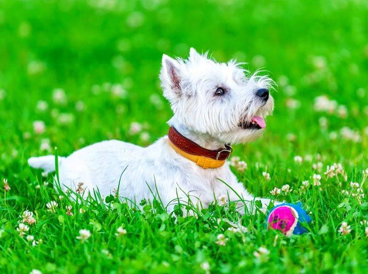 Der West Highland White Terrier: Ein aufmerksamer Hund – Bild: Shutterstock / Nikolai Pozdeev
