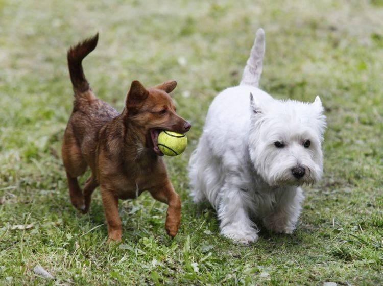 Der West Highland White Terrier ist ein verspielter, geselliger Hund – Bild: Shutterstock / naten