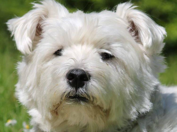 Fröhlicher und selbstbewusster Hund: Der West Highland White Terrier – Bild: Shutterstock / Zoonar GmbH
