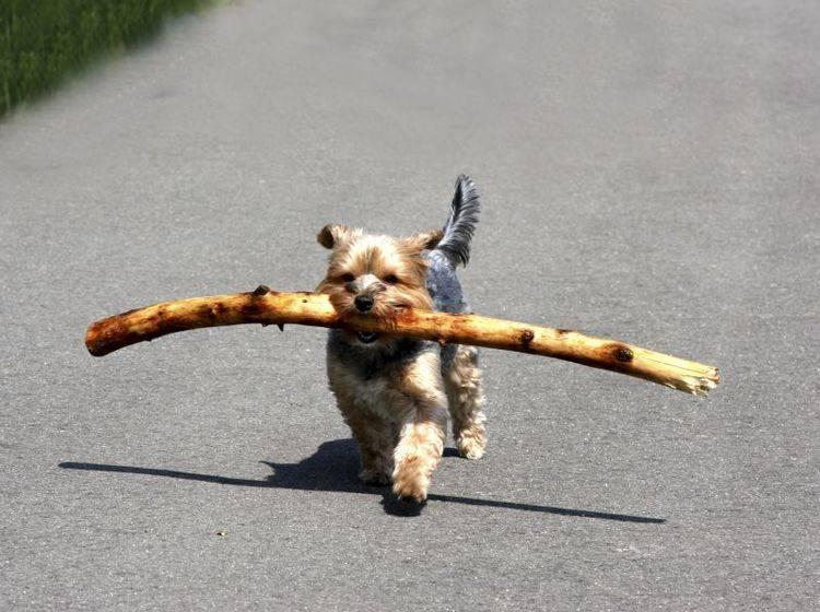Der kluge, muntere Yorkshire Terrier spielt gern und lernt schnell – Bild: Shutterstock / Peter38