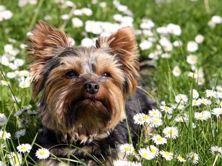 Munter, aufgeweckt und fröhlich: Der Yorkshire Terrier – Bild: Shutterstock / Bernhard Richter