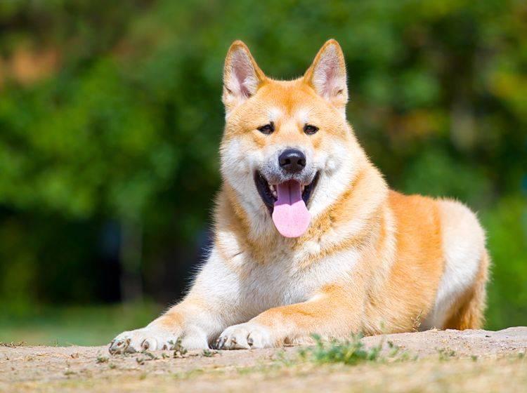 Der Akita kann ein Gewicht von circa 45 Kilogramm erreichen – Bild: Shutterstock / Sbolotova