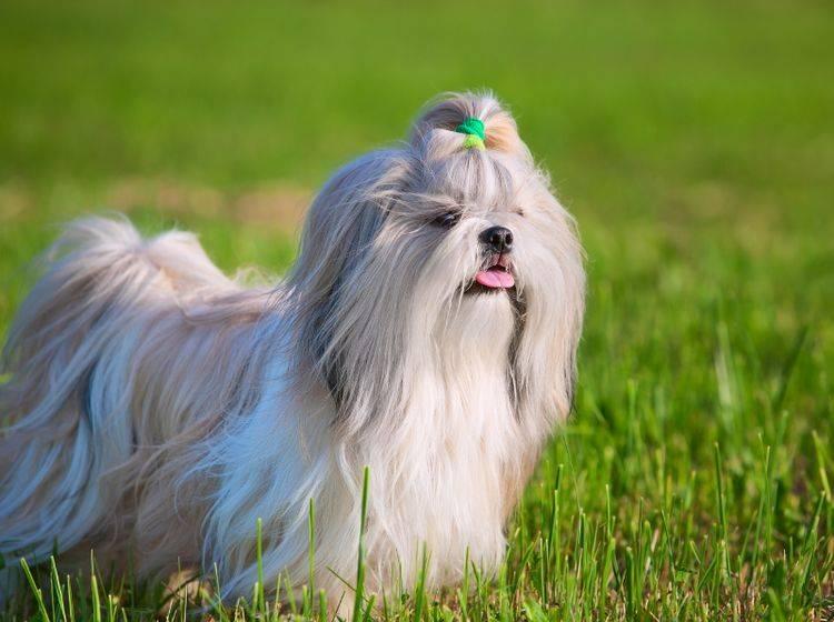 Haltung als Familien- oder Einpersonenhund: Der Shih Tzu eignet sich für beides – Bild: Shutterstock / chaoss