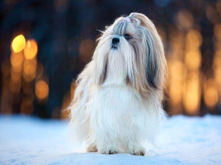 Der Shih Tzu ist ein Hund mit verspieltem und selbstbewusstem Charakter – Bild: Shutterstock / chaoss