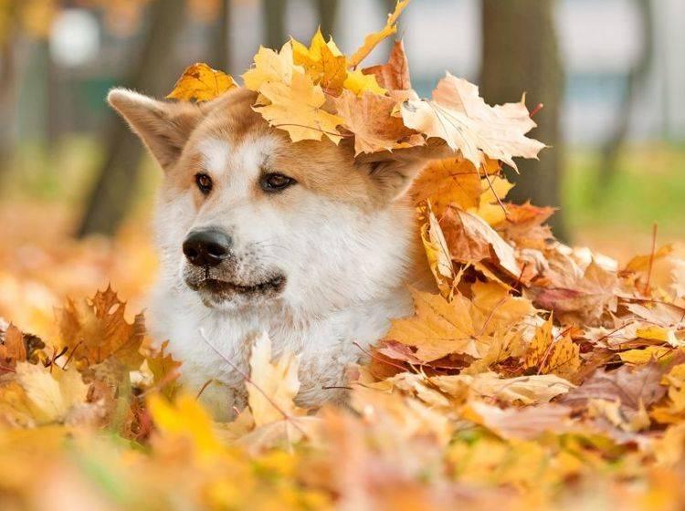 Der Akita: Viel Freilauf ist wichtig für die Haltung – Bild: Shutterstock / Rita Kochmarjova