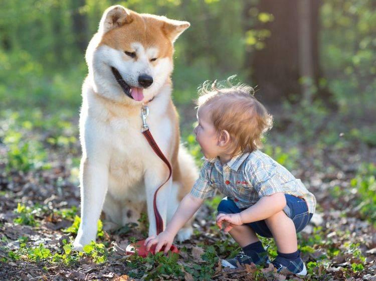 Eine gute Erziehung ist wichtig, damit der Akita ein verlässlicher Hund wird – Bild: Shutterstock / Away