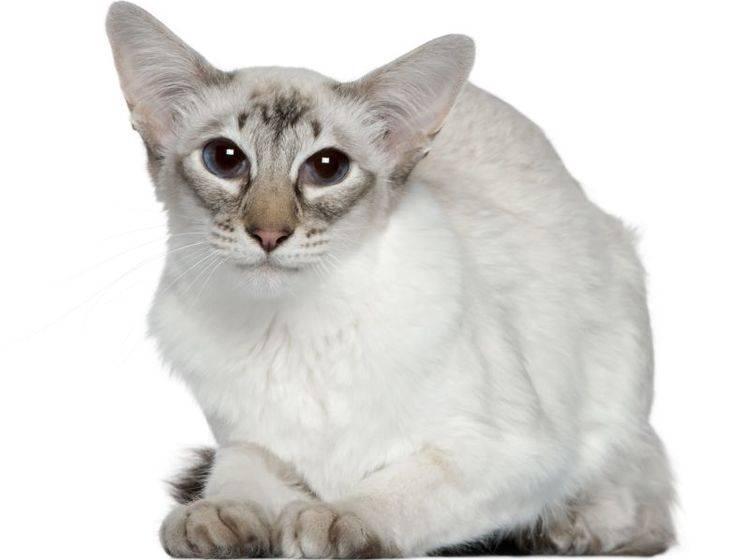 Muntere, aktive Katze: Die Balinese – Bild: Shutterstock / Eric Isselee