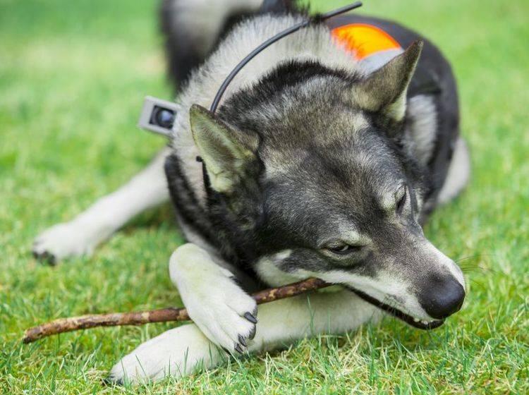 Als Jagdhund hat der Norwegische Elchhund besondere Bedürfnisse – Bild: Shutterstock / Robert Nyholm
