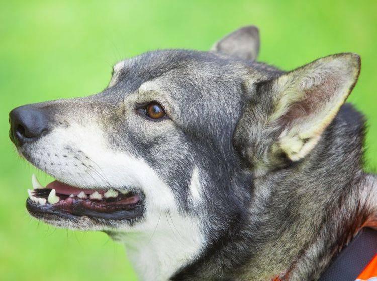 Der Norwegische Elchhund kann als Jagd- oder Begleithund gehalten werden – Bild: Shutterstock / Robert Nyholm