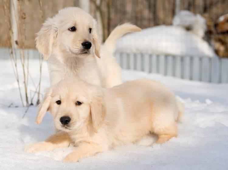 """Schnee ist klasse!"", finden diese beiden Golden-Retriever-Welpen – Bild: Shutterstock / Svetlana Yudina"