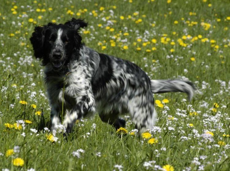 Großer Münsterländer: Viel Auslauf ist unverzichtbar für den Hund – Bild: Shutterstock / Bildagentur Zoonar GmbH