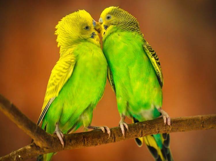 Schöner Anblick: Ein Wellensittichpaar in leuchtenden Gelb- und Grüntönen – Bild: Shutterstock / Patrick Foto