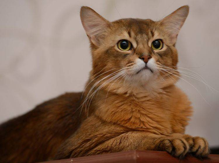 Aktiv und verspielt: Die Somali-Katze ist für jeden Spaß zu haben – Bild: Shutterstock / nelik