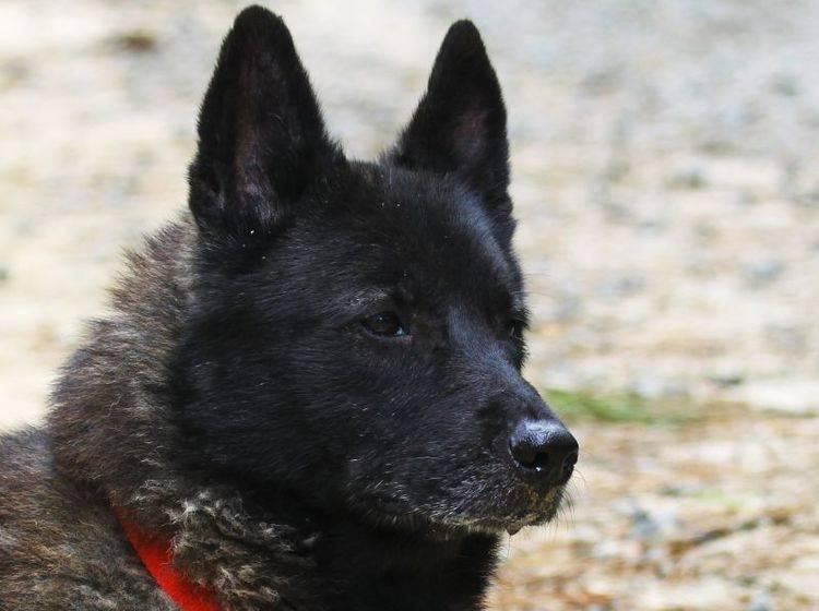 Der Norwegische Elchhund ist ein eigenständiger und wachsamer Hund – Bild: Shutterstock / Barry Blackburn