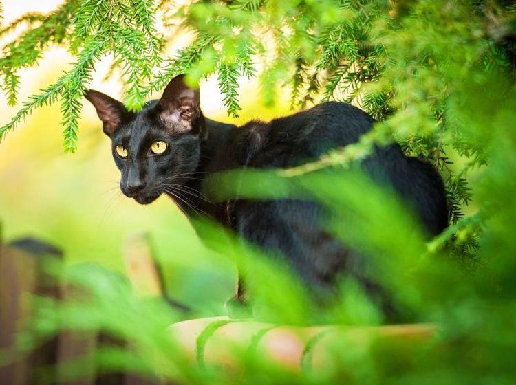 Die Orientalisch Kurzhaar ist eine neugierige, aktive Katze – Bild: Shutterstock / Rita Kochmarjova