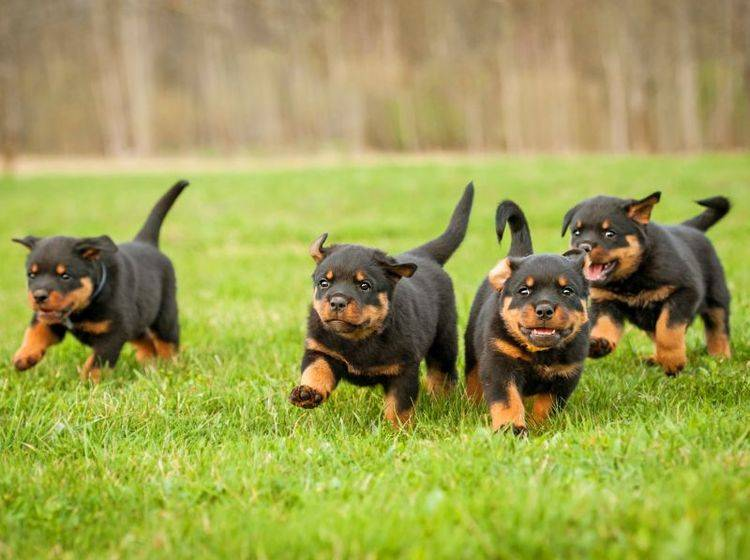 Jeder Rottweiler hat einen unterschiedlichen Charakter – Bild: Shutterstock / Rita Kochmarjova