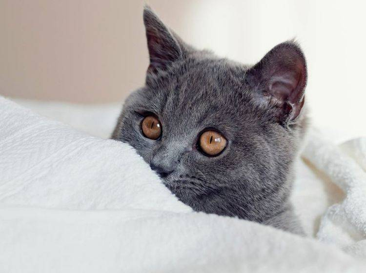 Leuchtende, bernsteinfarbene Augen und ein dichtes graues Fell: Diese BKH ist wunderschön! – Bild: Shutterstock / max777