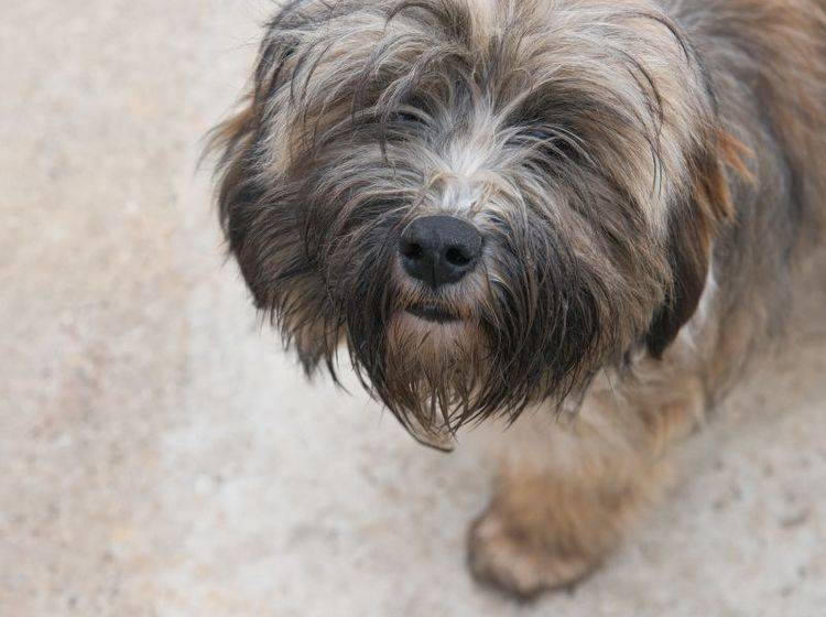 Leichte Erziehung: Der Tibet Terrier ist ein kluger, gelehriger Hund – Bild: Shutterstock / Fotokostic