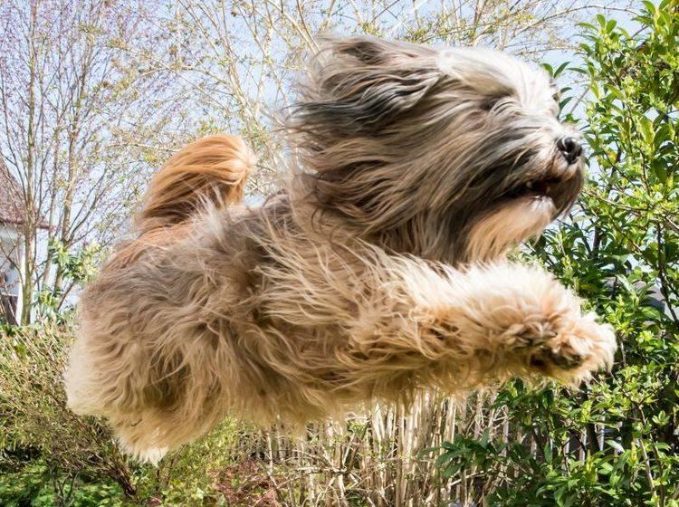 Beachten Sie sein sportliches Talent bei der Haltung des Tibet Terriers – Bild: Shutterstock / manfredxy