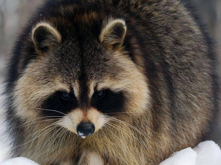 Die Winterruhe hilft unter anderem dem Waschbären, über die kalten Tage zu kommen – Bild: Shutterstock / nialat