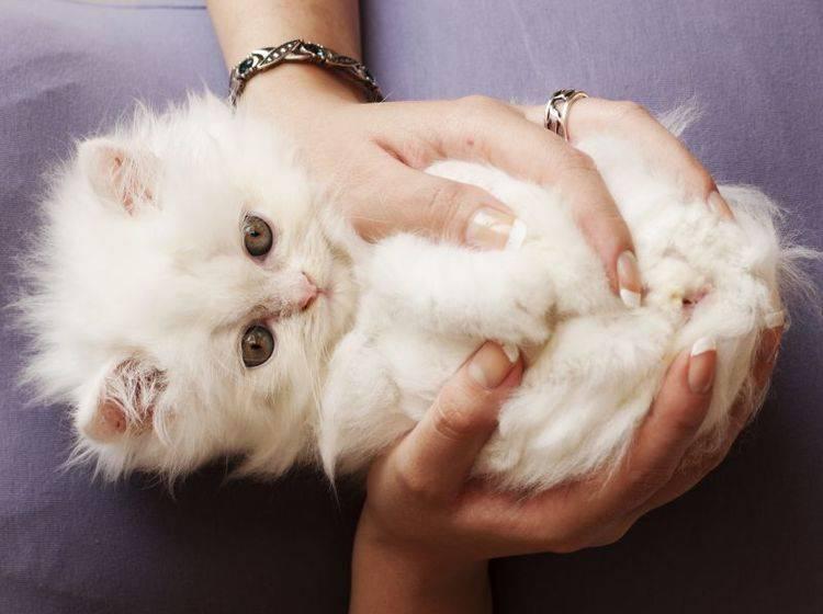 Eine Hand voll Glück: Das vielleicht süßeste Perserkatzenbaby macht den Anfang – Bild: Shutterstock / DreamBiig