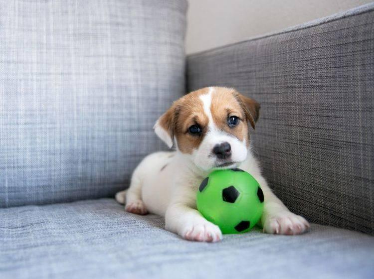 Im Welpenalter lernt der Hund besonders schnell – Bild: Shutterstock / Anna Hoychuk