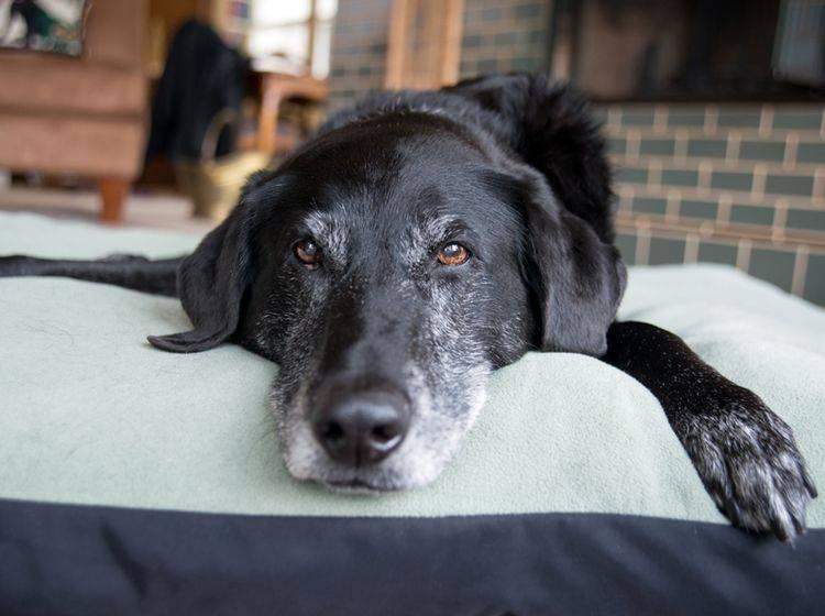 """Nach einem Hunde-""""Schlaganfall"""" braucht der Vierbeiner viel Ruhe – Bild: Shutterstock / Anna Hoychuk"""