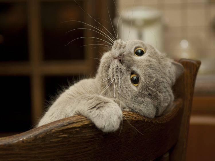 BKH-Katzen lassen sich relativ leicht erziehen – Bild: Shutterstock / Sergey Kaliganov