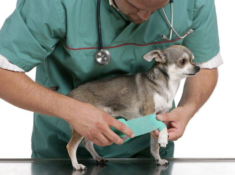 Gehen Sie mit Ihrem Chihuahua regelmäßig zur Vorsorgeuntersuchung – Bild: Shutterstock / Eric Isselee