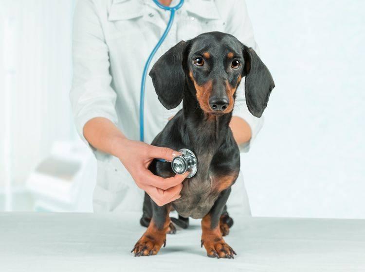 Die rechtzeitige Herzinsuffizienz-Diagnose mindert das Hundeleid – Bild: Shutterstock / Poprotskiy Alexey