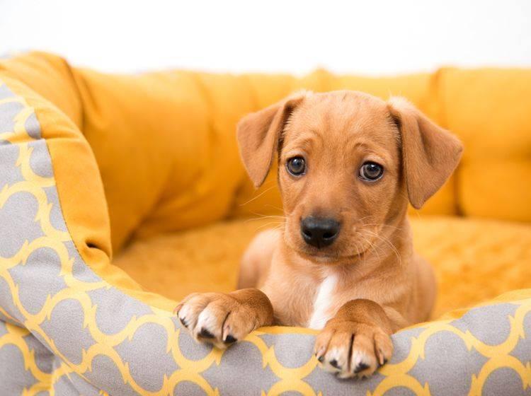 Mit der richtigen Erziehung geht jeder Hund gern ins Körbchen – Bild: Shutterstock / Anna Hoychuk
