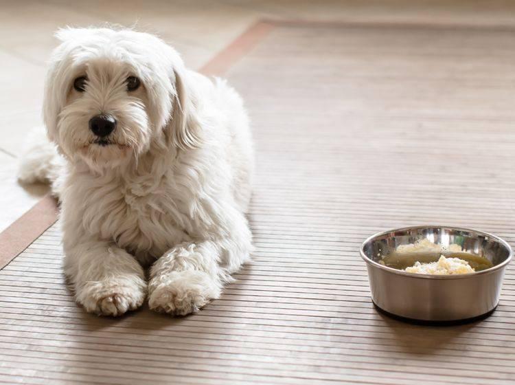 Eine Futterallergie kann für Hunde sehr belastend sein – Bild: Shutterstock / Cryber